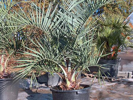 oliveraie d 39 aquitaine orangers citronniers palmiers. Black Bedroom Furniture Sets. Home Design Ideas